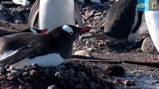 Gentoo Penguins Steal Rocks | Year of the Bird | Lindblad Expeditions-National Geographic