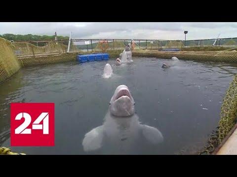На свободе! Белухи и косатки освобождены из китовой тюрьмы - Россия 24