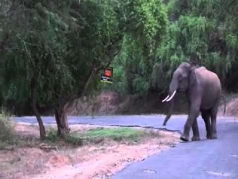 wild elephant anamalai tiger reserve