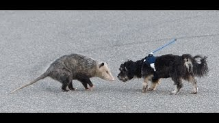 opossum vs dog