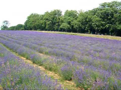 Fragrant lavender fields - Carshalton Surrey