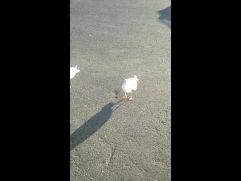 A Welshman teaches a seagull to dance