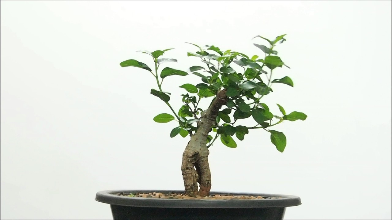 My Bonsai Obsession