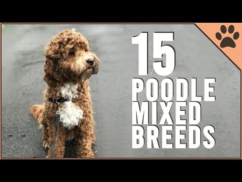 15 Poodle Mix Breeds That Will Melt Your Heart