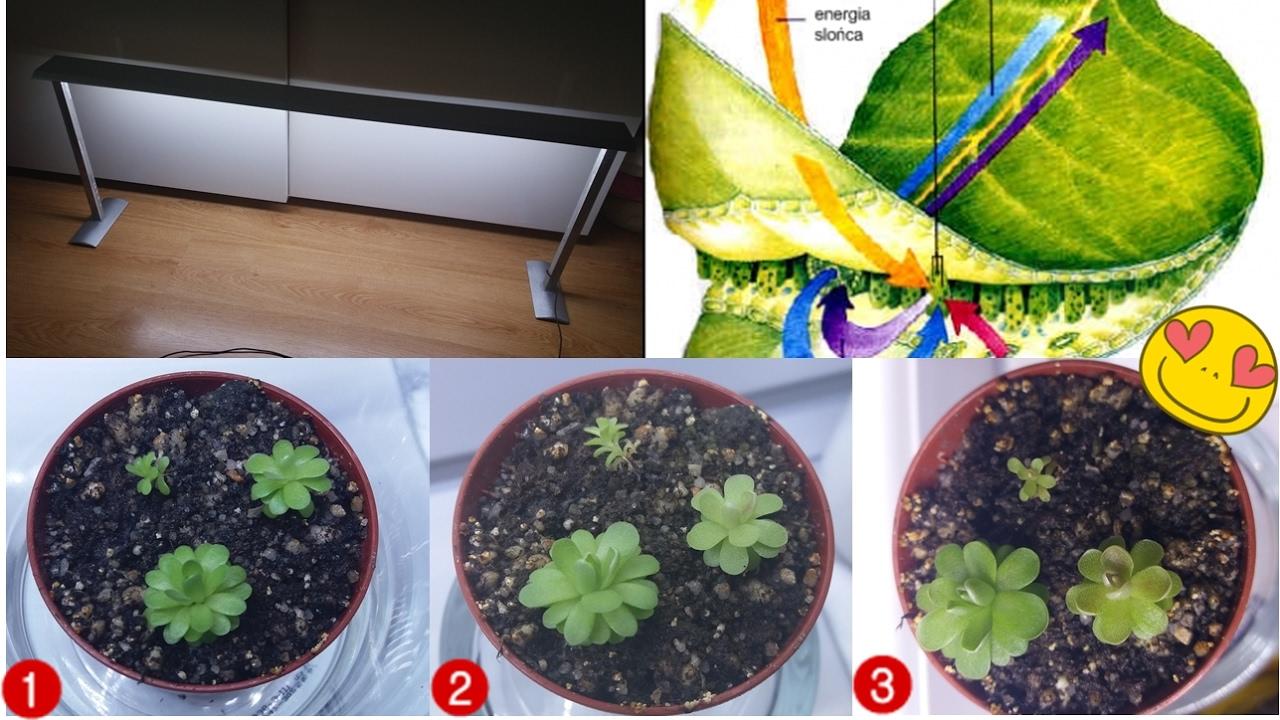 Oświetlenie Dla Roślin Owadożernych Carnivorous Plants 6500 7000k 8000 10000k Diy 2