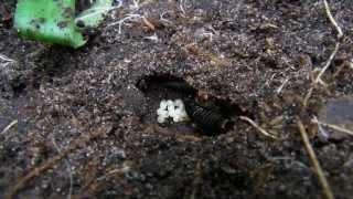 Earwigs and Baby Earwigs