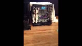 Crate Training 8 Week Old Husky Puppy