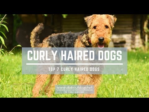 TOP 7 CURLY HAIRED DOGS - All About Dogs