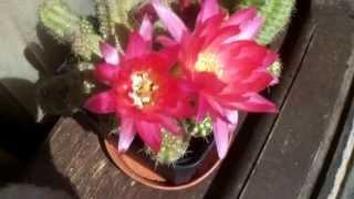 Echinopsis chamaecereus Hybrid 'Rose quartz' Peanut Cactus in beautiful pink flower