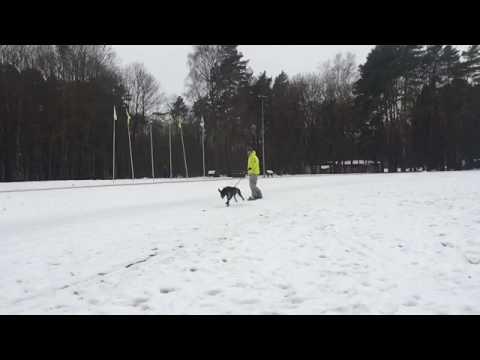 Dogboarding. Dog + Snowboard. German Shorthaired Pointer