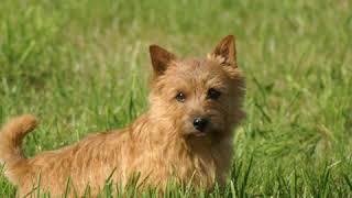 Norfolk Terrier  Dog Breed  Pet Friend