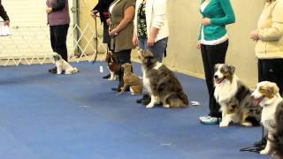 Woobie - Pre-novice Obedience 1st Leg (long Sit/stay)