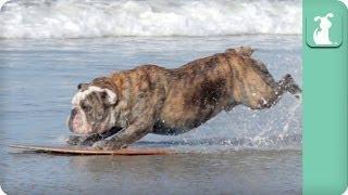 Bulldog Loves Skimboarding - Dogs at Play
