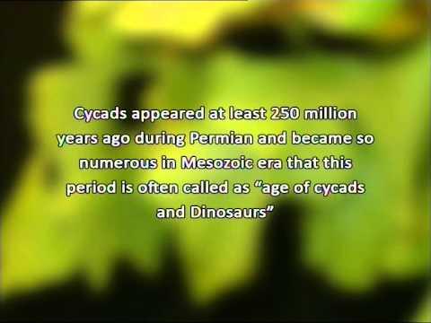 Evolution of Gymnosperm