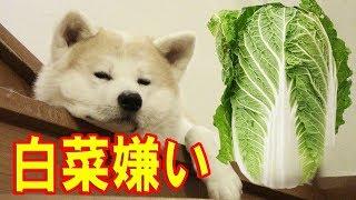 食材を結構選んで食べる秋田犬の惣右介 どうも白菜は苦手みたいです こ...