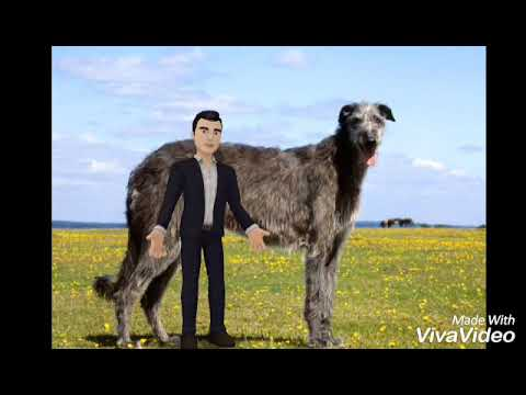 Top 10 tallest dog breeds in the world