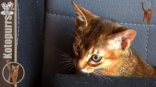 Абиссинские котята играют на стуле [kotopurrs]