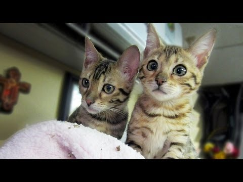 Thumbnail for Cat Video MY BENGAL KITTENS!