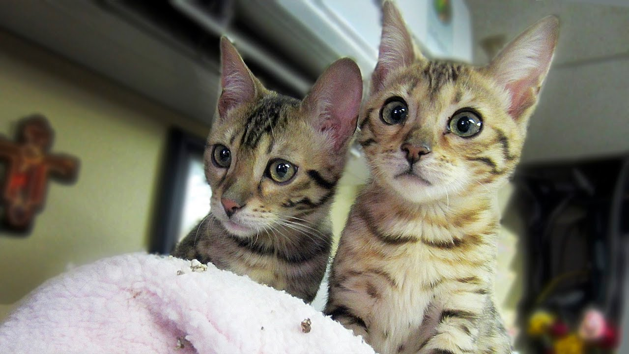 MY BENGAL KITTENS! - YouTube