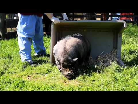 rescued-pigs-see-grass-for-first-time