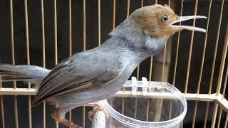Suara PIKAT Burung Prenjak Merah Klawu Paling Ampuh Untuk Berburu Perenjak Abang Di Alam Liar