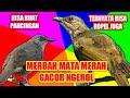 Suara Merbah Mata Merah Gacor Ngerol Panjang  Mp3 - Mp4 Download
