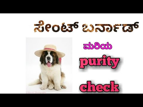 How to check purity of saint bernard puppy