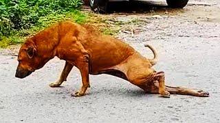 Этот бродячий пес как только видит людей начинает хромать
