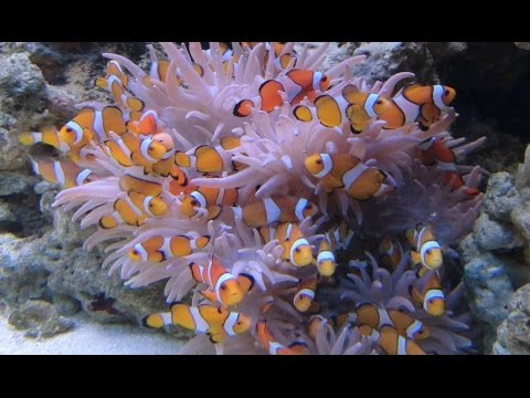 Some Clown Fishes And An Anemone