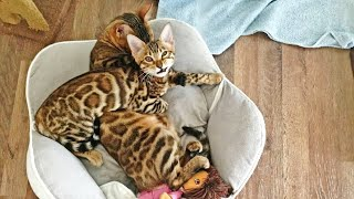 Bengal Kitten Sleeping on her Bengal Mommy