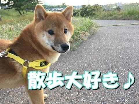 【柴犬】散歩と初めての消防車!