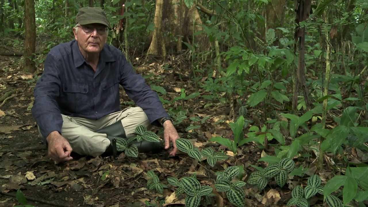 Portrait de plantes Geogenanthus, s'adapterà l'obscurité du sous bois YouTube # Plantes De Sous Bois Liste
