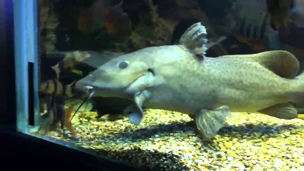 Catfish For Sale >> Giraffe catfish,Auchenoglanis occidentalis - YouTube
