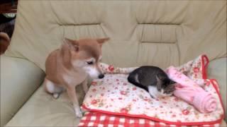子猫の横に座りたい柴犬いちご thumbnail