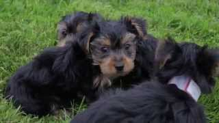Puppies For Sale - Bonnie / Baby / Chief - Yorkies