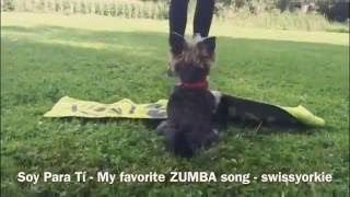 Yorkshire Terrier  Dancing Dog  Trick Dog Song ZUMBA:  Soy Para Ti  Marcelo Cezán