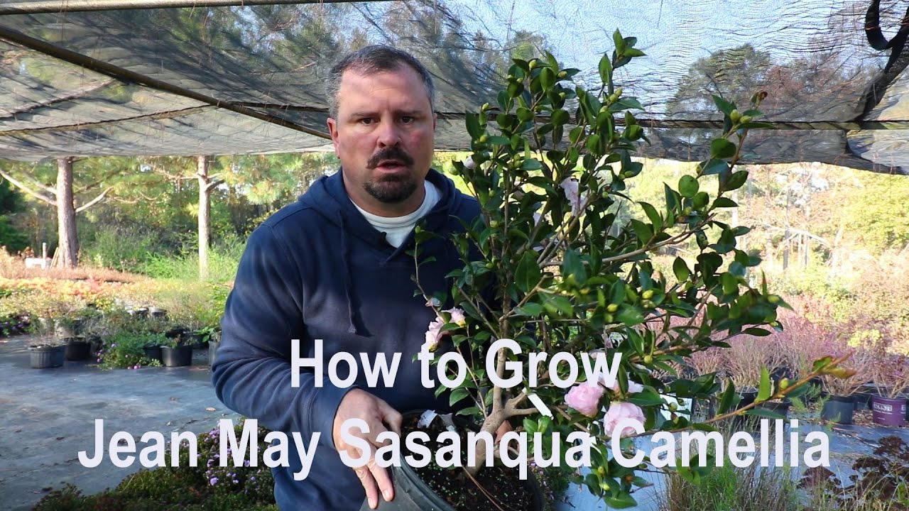 how to grow jean may sasanqua camellia with a detailed description