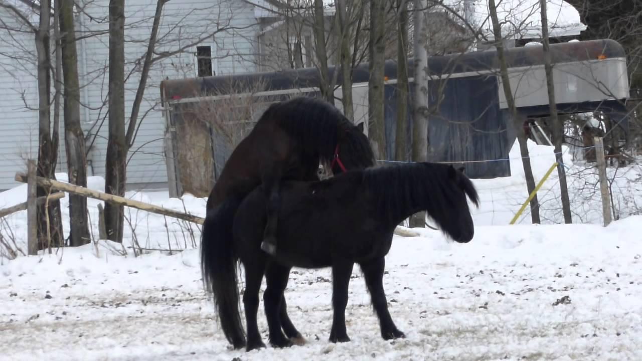 image de chevaux qui s'accouple