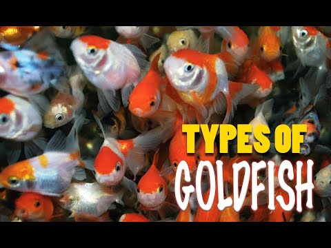 Different Types Fancy Goldfish, Calico Orandos, Red Caps, Lionhead Fantails, Black Moors, Shubunkins