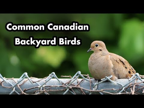 Identify Backyard Birds - Common Canadian Birds - Quick Guide With Names - Bird Calls And Sounds