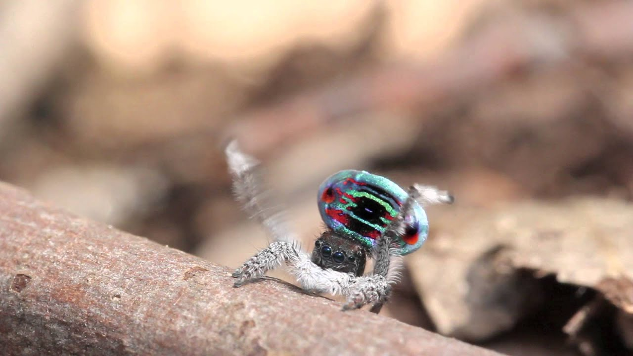 The Amazing Mating Dance of the Peacock Spider | Live Science