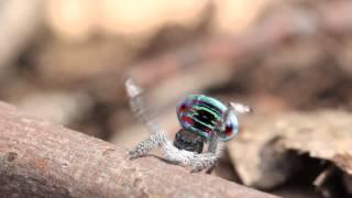 Peacock Spider 4 (Maratus sarahae)