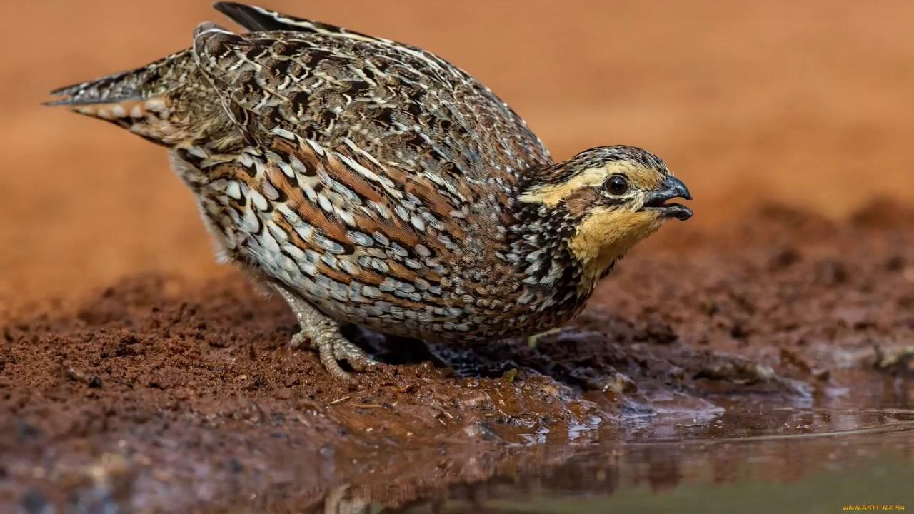 Голоса птиц как поёт перепел - перепёлка (Coturnix coturnix)