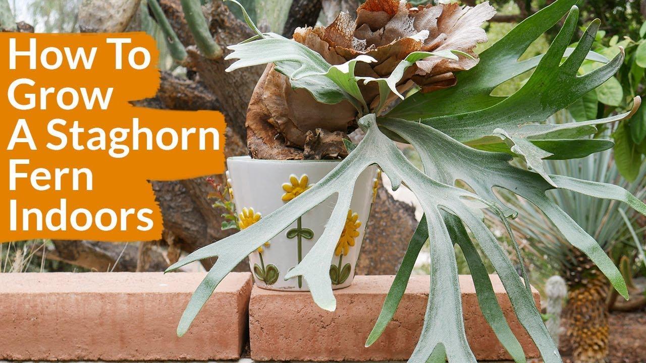 How To Grow A Staghorn Fern Indoors Joy Us Garden