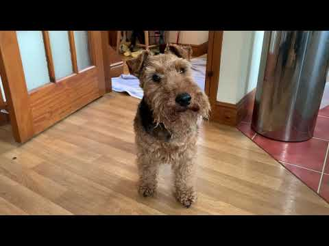 Behaviour Confession Time for a Snappy Welsh Terrier