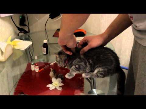 Как правильно сделать прививку кошке самостоятельно