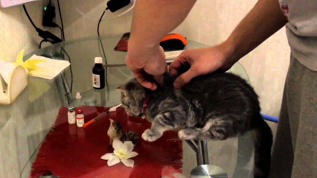 Вакцинация кошки - YouTube