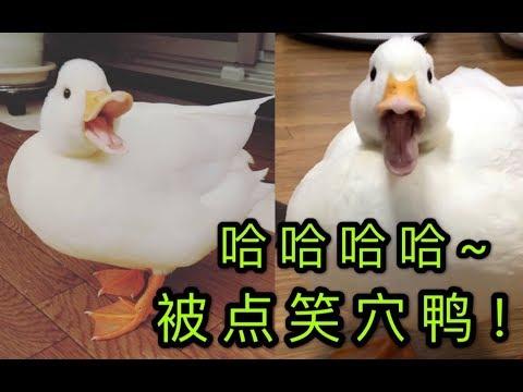 【柯尔鸭】笑死我了,这只鸭子笑声太鬼畜了吧,被点到笑穴了哈哈!