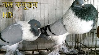 Amazing biggest pigeon shops near at tongi pigeon hat I kobutor bikroy