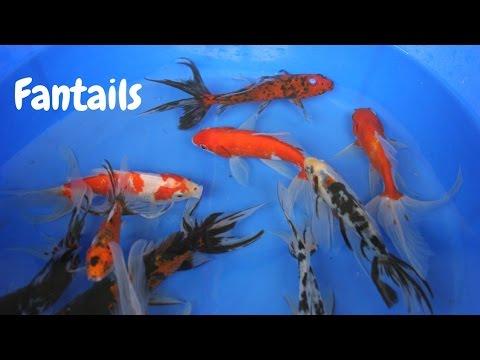 Fantail Goldfish from Blackwater Creek